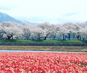 富山の桜満開